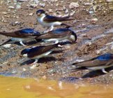 House Martins Gathering Mud For Their Nests Photo By: Steve Herring Https://creativecommons.org/licenses/by-Sa/2.0/