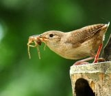 House Wren Bringing Home Dinner Photo By: Julian Londono Https://creativecommons.org/licenses/by-Sa/2.0/