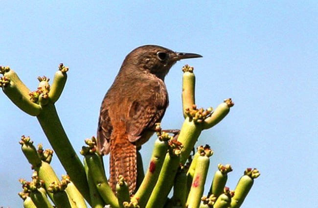 House Wren in a cactus Photo by: Ron Knight https://creativecommons.org/licenses/by-sa/2.0/