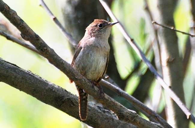 House Wren on a branch Photo by: Don Faulkner https://creativecommons.org/licenses/by-sa/2.0/