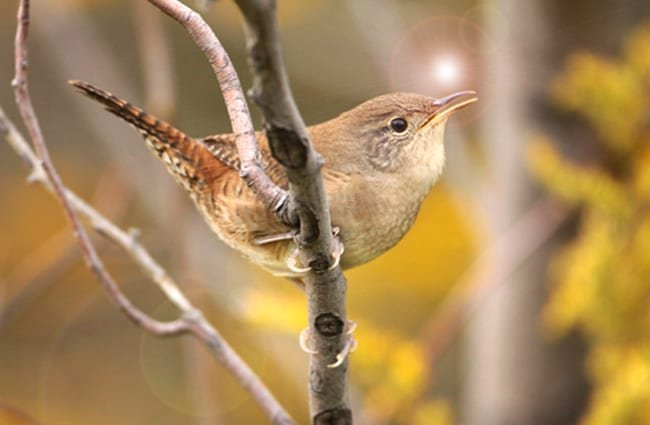 Pretty little House Wren Photo by: Matt Tillett https://creativecommons.org/licenses/by-sa/2.0/