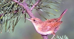 House Wren in a pine treePhoto by: California Department of Fish and Wildlifehttps://creativecommons.org/licenses/by-sa/2.0/