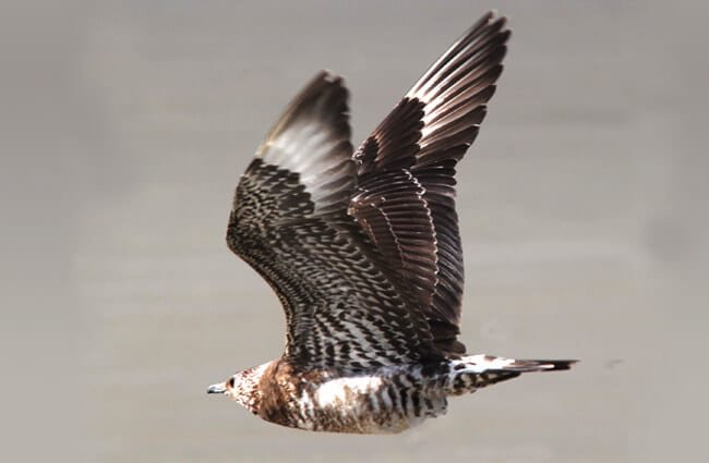 Parasitic Jaeger, at Morrow Bay, CaliforniaPhoto by: Alan Schmierer, Public Domain