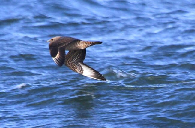 Parasitic Jaeger flying low over the water Photo by: Paul Hurtado //creativecommons.org/licenses/by-sa/2.0/