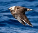 Long-Tailed Jaeger Stretching Its Wings Photo By: Ed Dunens Https://creativecommons.org/licenses/by-Sa/2.0/