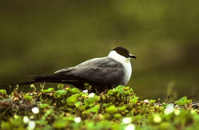 Long-tailed Jaeger on land Photo by: Francesco Veronesi https://creativecommons.org/licenses/by-sa/2.0/