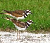 A Pair Of Killdeer, At West Delray Park Photo By: Susan Young, Public Domain