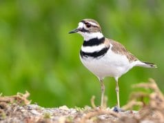 Killdeer, photographed at the Merced National Wildlife Refuge, in CaliforniaPhoto by: Becky Matsubara//creativecommons.org/licenses/by/2.0/