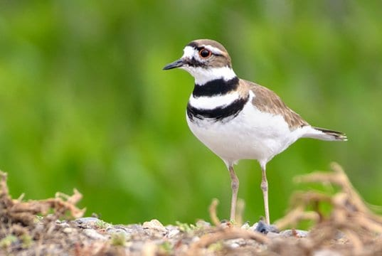 Killdeer, photographed at the Merced National Wildlife Refuge, in CaliforniaPhoto by: Becky Matsubarahttps://creativecommons.org/licenses/by/2.0/