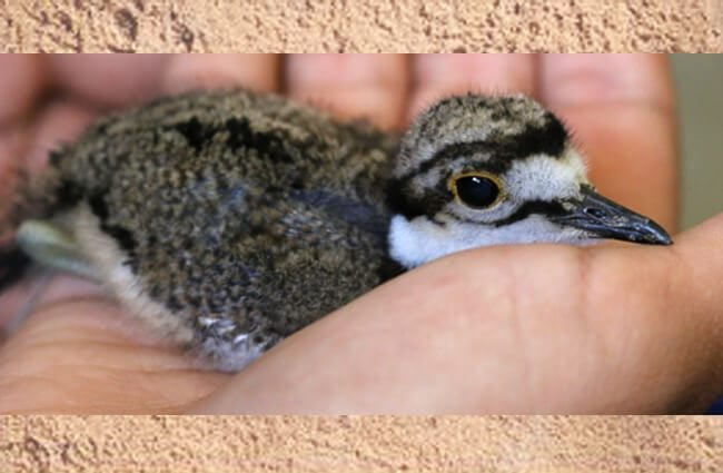 Newly-hatched Kildeer Photo by: cuatrok77 //creativecommons.org/licenses/by/2.0/