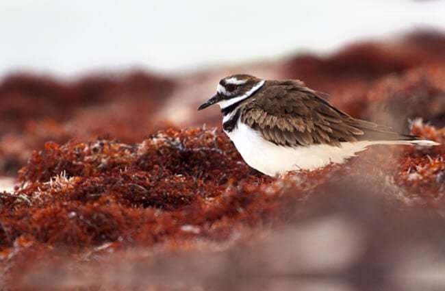 Killdeer grazing in the seaweed the beach Photo by: Matt MacGillivray //creativecommons.org/licenses/by/2.0/