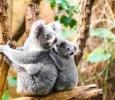 Koala Mom And Youngster Photo By: Skeeze, Public Domain //pixabay.com/photos/koala-Bears-Tree-Sitting-Perched-1259681/