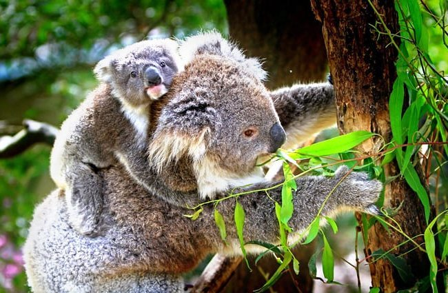 Koala baby on his mom's back Photo by: Holger Detje, public domain //pixabay.com/photos/koala-animals-mammals-australian-61189/