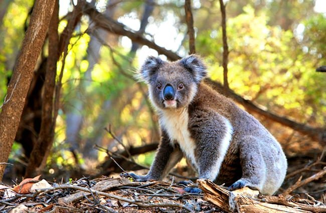 Koala posing for a pic Photo by: Pexels, public domain //pixabay.com/photos/animal-koala-marsupial-fur-nature-1835689/