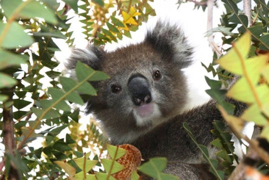 Koala selfie!Photo by: Di Reynolds, public domainhttps://pixabay.com/photos/australia-koala-wildlife-animal-1343299/