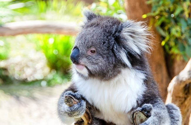 Koala in a rare ground excursion. Photo by: pen_ash, public domain //pixabay.com/photos/koala-mammal-marsupial-animal-3690657/