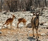 Kudu Bull And Two Youngsters Photo By: Kolibri5 Https://pixabay.com/photos/kudu-Africa-Namibia-Nature-Dry-1170220/