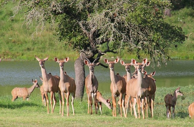 Kudu female and calf herd, near a lake in west Texas Photo by: JustBrantley https://pixabay.com/photos/west-texas-kudu-texas-deer-3661239/