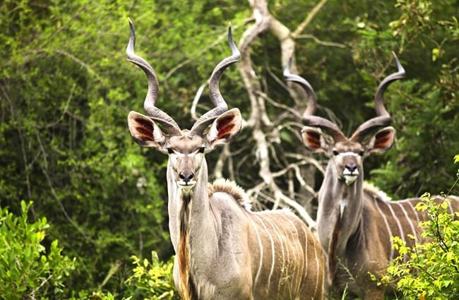 Kudu bulls posing for a portrait Photo by: 4657743 https://pixabay.com/photos/kudu-buck-wildlife-wild-africa-2112417/