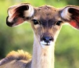 Portrait Of A Beautiful Young Kudu Photo By: Greg Newman Https://pixabay.com/photos/animal-Kudu-Young-Face-Ears-Cute-3987128/