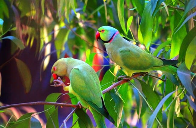 A pair of Lovebirds in the wild Photo by: Saurabh Soshte https://pixabay.com/photos/oddcouple-couple-love-birds-2477254/