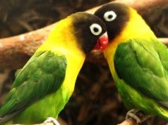 A pair of Yellow-Collared LovebirdsPhoto by: Nitahttps://creativecommons.org/licenses/by-sa/2.0/