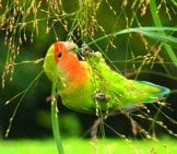 A Beautiful Lovebird, Plucking Seeds Photo By: David González Romero //creativecommons.org/licenses/by-Sa/2.0/