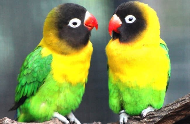 Masked Lovebirds, native to Africa Photo by: Mertie https://creativecommons.org/licenses/by-sa/2.0/