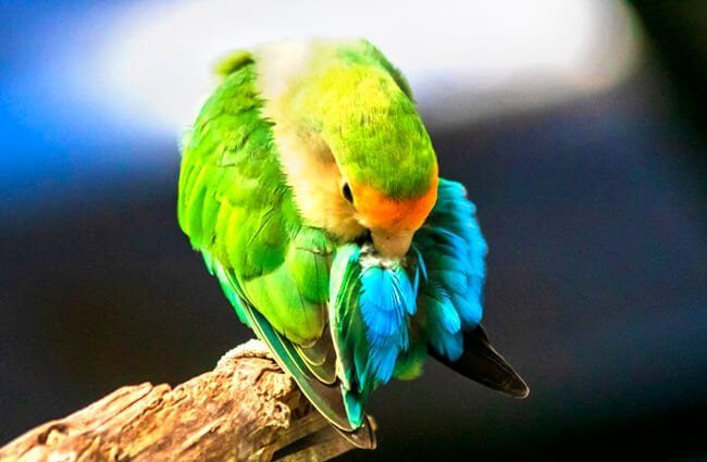 Rosy-Faced Lovebird preening Photo by: Rafael Saldaña https://creativecommons.org/licenses/by-sa/2.0/