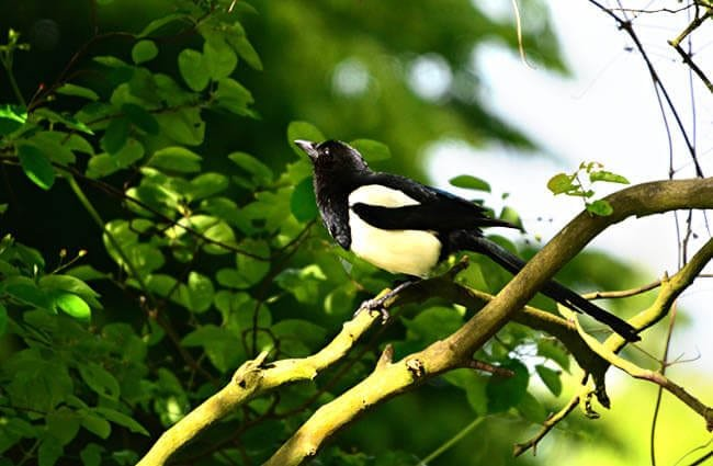 Magpie in a tree Photo by: Mabel Amber, still incognito... https://pixabay.com/photos/magpie-bird-animal-corvidae-4222811/