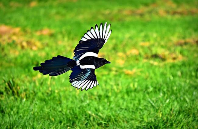 Magpie in flight Photo by: Mabel Amber, still incognito... https://pixabay.com/photos/magpie-bird-animal-corvidae-3781463/