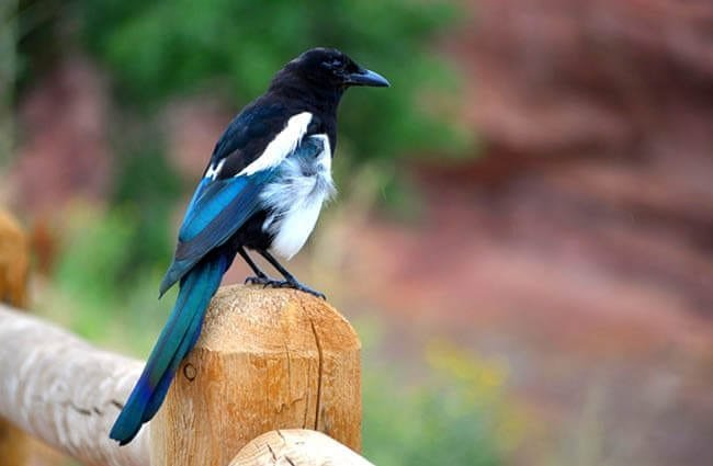A pretty Magpie on a fence postPhoto by: Nancy Schlegelhttps://pixabay.com/photos/magpie-bird-wildlife-feather-1987710/