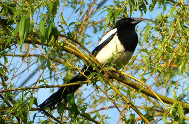 Magpie on a tree branch Photo by: Elsemargriet https://pixabay.com/photos/magpie-tree-branch-bird-beak-4150638/