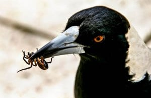 Australian Magpie with lunchPhoto by: Sandid, Pixabay