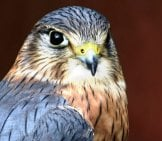Closeup Portrait Of A Merlin Photo By: 8001567 Https://pixabay.com/photos/raptor-Eagle-Bird-Falcon-Prey-3151050/