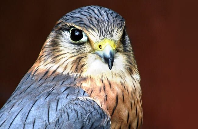 Closeup portrait of a Merlin Photo by: 8001567 //pixabay.com/photos/raptor-eagle-bird-falcon-prey-3151050/
