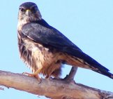 An Alert Merlin Photo By: Phillip Cowan //creativecommons.org/licenses/by-Nd/2.0/