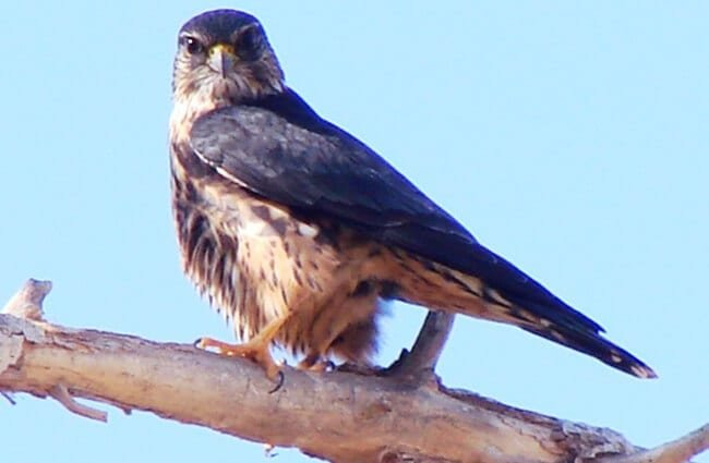 An alert Merlin Photo by: Phillip Cowan https://creativecommons.org/licenses/by-nd/2.0/
