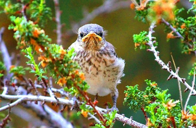 Baby Northern mockingbird Photo by: Renee Grayson https://creativecommons.org/licenses/by/2.0/