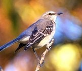Northern Mockingbird Photo By: Renee Grayson Https://creativecommons.org/licenses/by/2.0/