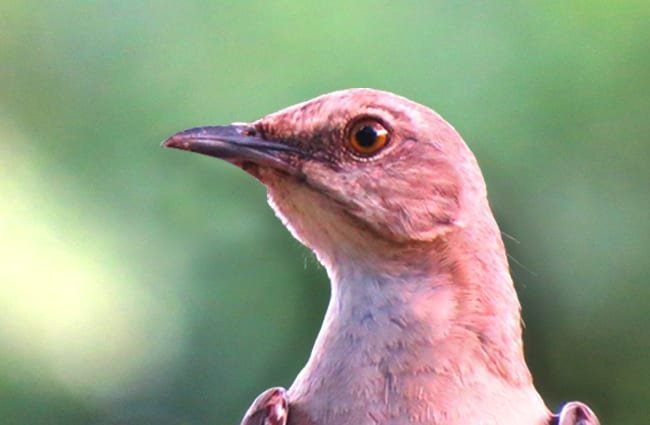 Mockingbird selfie Photo by: GeorgeB2 https://pixabay.com/photos/mockingbird-close-up-songbird-2498130/