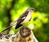 Mockingbird On A Tree Stump Photo By: Rick Pending //pixabay.com/photos/mocking-Bird-Florida-Bird-Grey-2296056/