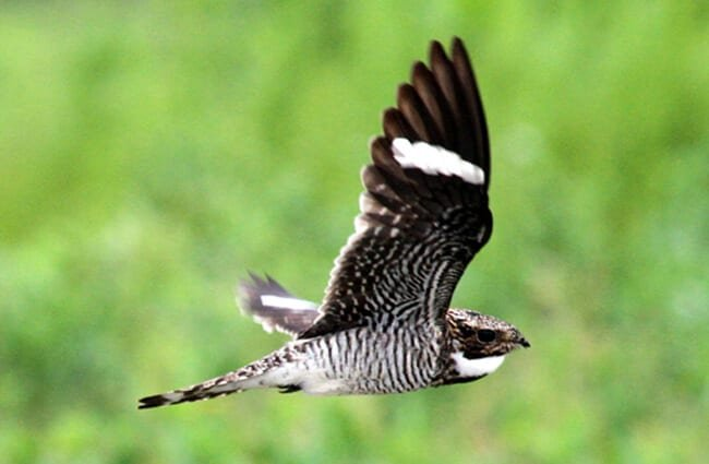 Flight of a beautiful Common Nighthawk Photo by: Greg Schechter https://creativecommons.org/licenses/by/2.0/