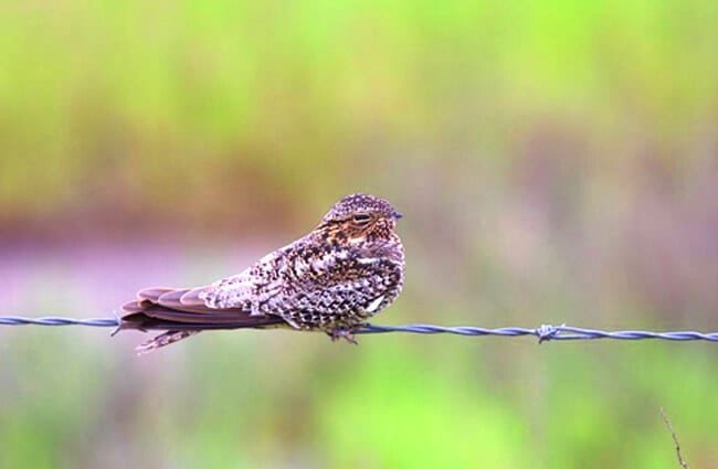 Nighthawk on a barbed wire fence Photo by: Bettina Arrigoni https://creativecommons.org/licenses/by/2.0/