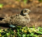 Nacunda Nighthawk – The Pantanal, Brazil Photo By: Francesco Veronesi Https://creativecommons.org/licenses/by/2.0/