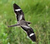 Common Nighthawk In Flightphoto By: Greg Schechterhttps://creativecommons.org/licenses/by/2.0/