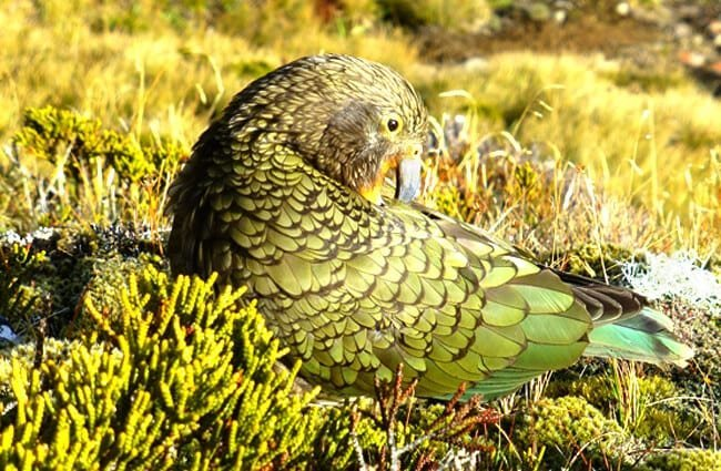 New Zealand Parrot preening in the bush Photo by: Gerralt van Soest, public domain //pixabay.com/photos/kea-parrot-new-zealand-bird-nature-557097/