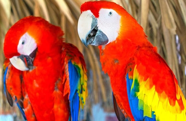 A pair of Scarlet Macaws Photo by: Luis Ruano https://pixabay.com/photos/scarlet-macaw-guacamayas-macaws-1290913/
