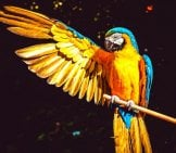 Portrait Of A Stunning Yellow Macaw Photo By: Couleur, Public Domain Https://Pixabay.com/Photos/Ara-Parrot-Yellow-Macaw-Bird-3601194/