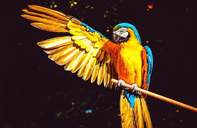 Portrait of a Stunning Yellow Macaw Photo by: Couleur, public domain //pixabay.com/photos/ara-parrot-yellow-macaw-bird-3601194/
